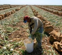 dnbcch-arvin53.jpg  TAFT, CA - 10JUNE06 - Valente Guzman Santiago, an immigrant from Nochixtlan, Oaxaca, tops onions early in the morning.  Onion harvesters work in the morning and evening, and don't work during the early afternoon when the heat is unbearable. Copyright David Bacon